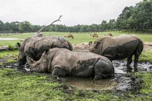 Rhinos at Play