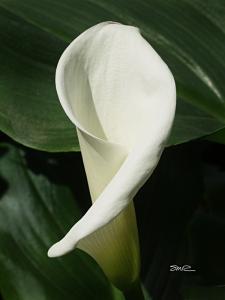 Cala Lily - 7
