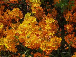 Field of Orange