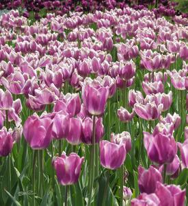 Purple Tulips - Longwood Gardens