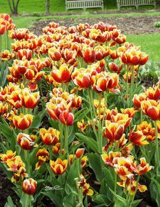 Really Pretty Tulips - Longwood Gardens