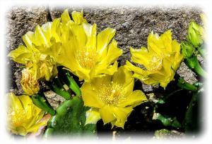 Cactus Flowers-5