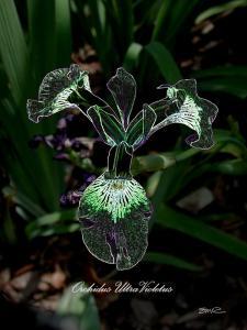 Orchidus Ultra Violetus