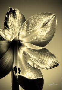 Golden Amaryllis Solarillis