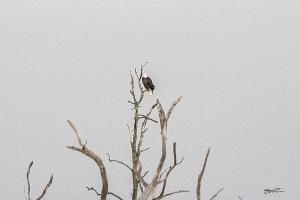 Manasquan Reservoir Bald Eagle