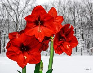 Amaryllis in Winter