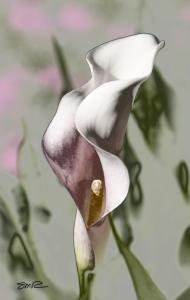 Dreamy Cala Lily