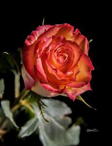My Darling's Rose