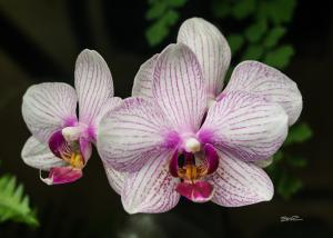 Orchid - 14