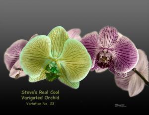 Varigated Orchid - var 23