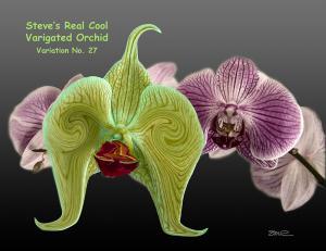 Varigated Orchid - var 27