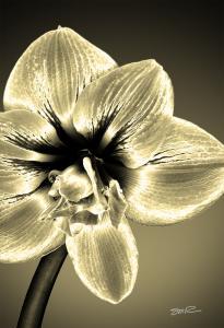 Golden Amaryllis Solarillis-2