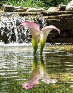 Aqua Cala Lilies
